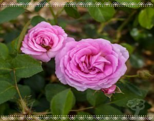 Rose Bush Gifts