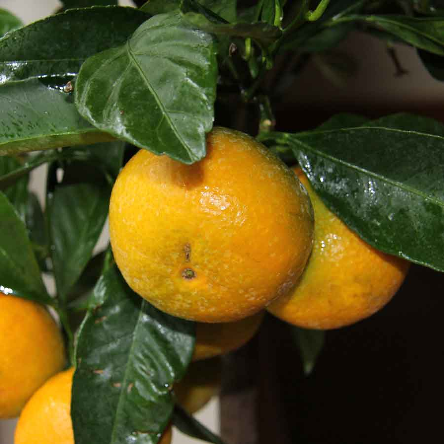 Satsuma Tree for Sale