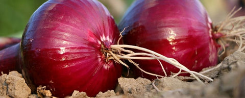 Signs of a bad winter to come - thick onion skins