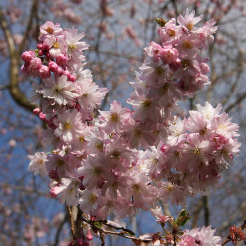 Dwarf Japanese Flowering Cherry Tree