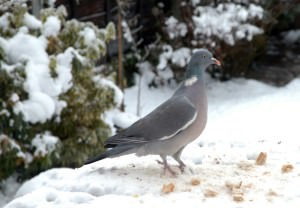 Wood Pigeon in the Snow
