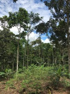 Young Guayusa Trees Growing
