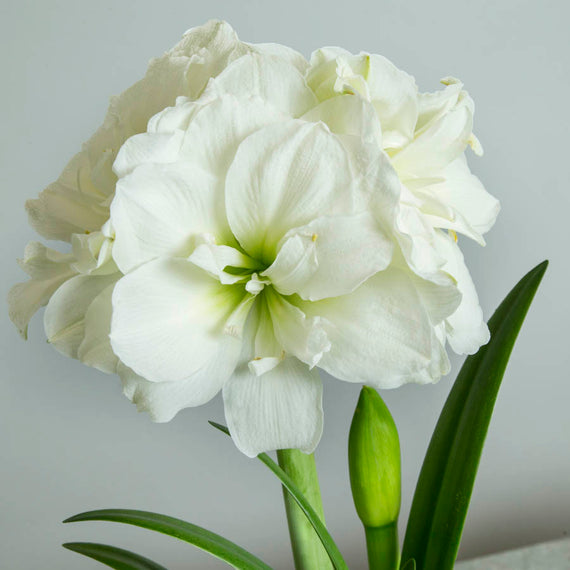 White Amaryllis Blooms Close Up