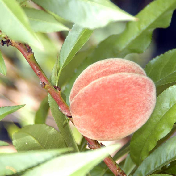 Young Crimson Bonfire Peach