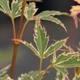 Butterfly Variegated Leaves