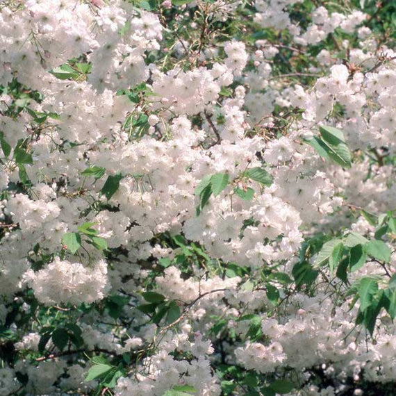 Buy a Wild Cherry Tree Online