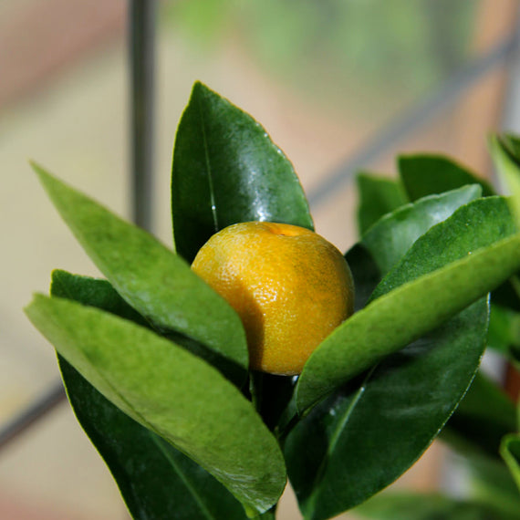 Ripening Calamondin Fruits