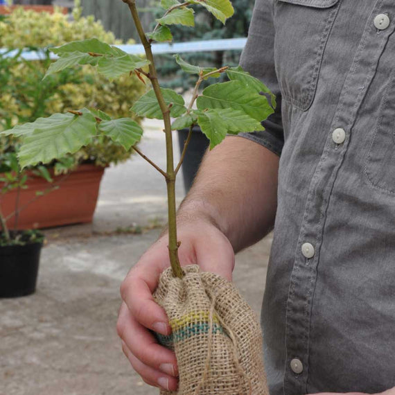 Beech Sapling in Hessian Bag