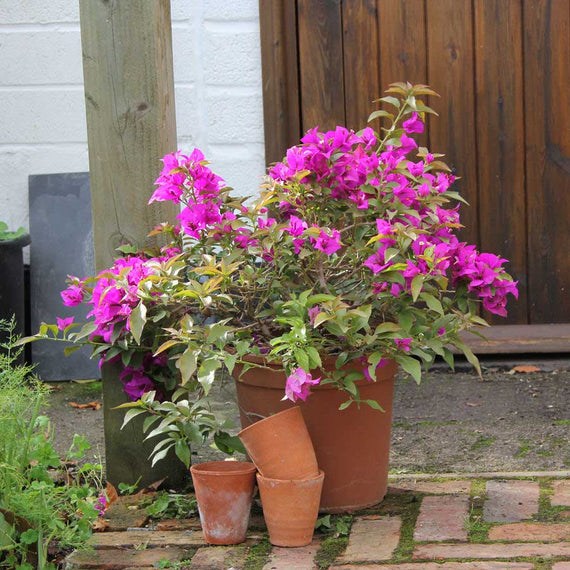 Buy a Bougainvillea Plant