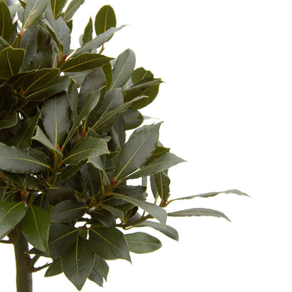 Evergreen Bay leaves