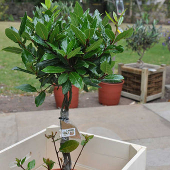 Medium sized Bay Laurel Tree Gift