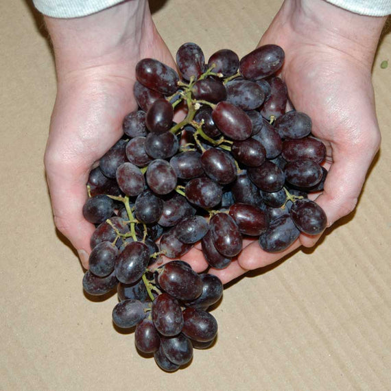 Red Grape Vine
