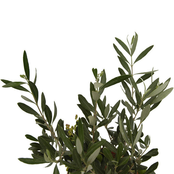 Olive Bushes by Post