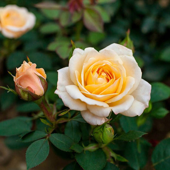 Belle of The Ball Rose Bush
