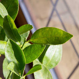 Lime Tree Leaves Close Up