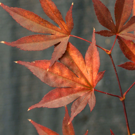 Acer Fireglow Japanese Maple