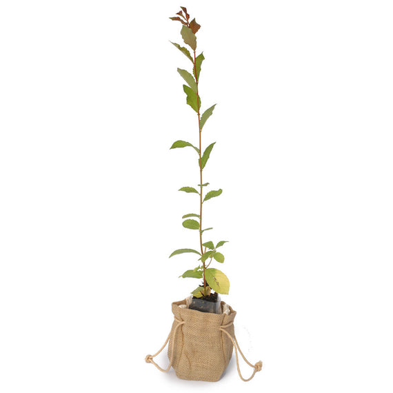 Grey Willow Tree Sapling in Hessian Bag