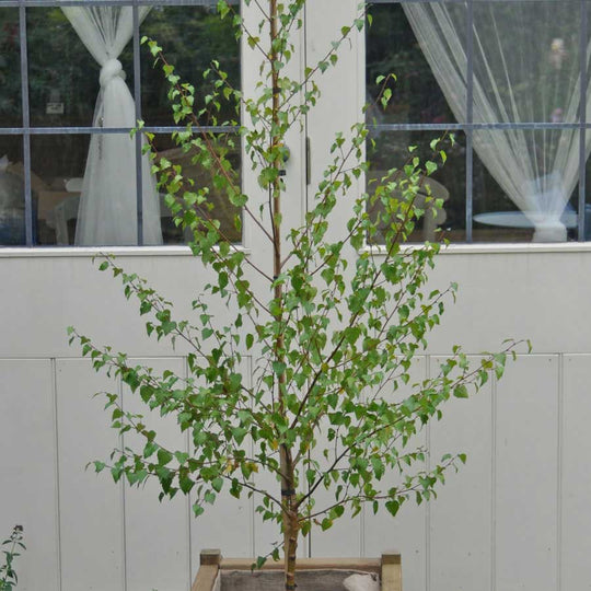 Order a Golden Birch Tree