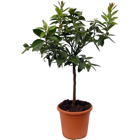 Buy a Lime Tree Online