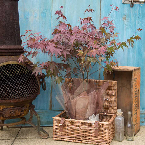 Going Red Japanese Maple Tree Gift