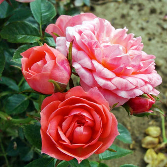 Order a Happy Times Rose Bush