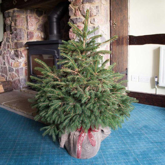 Pot Grown Norway Spruce Christmas Tree