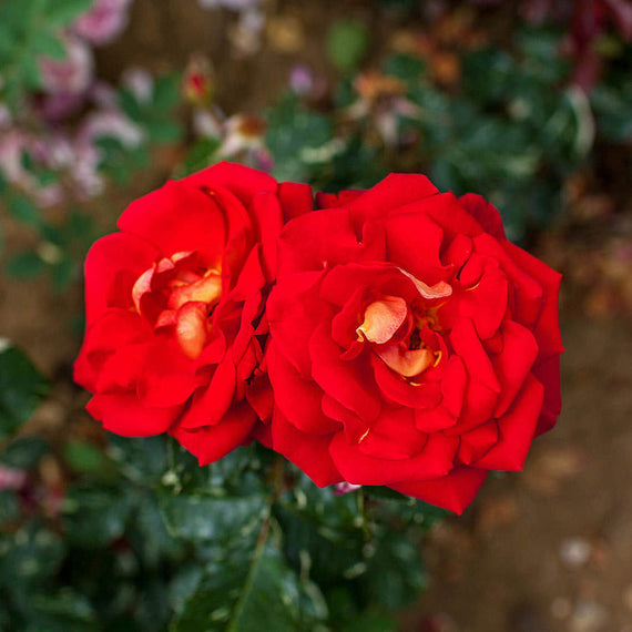 Red Climbing Rose Bush