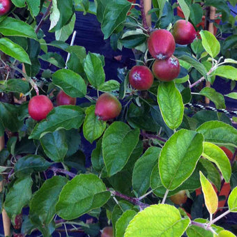 Dwarf Apple Tree - Pinova