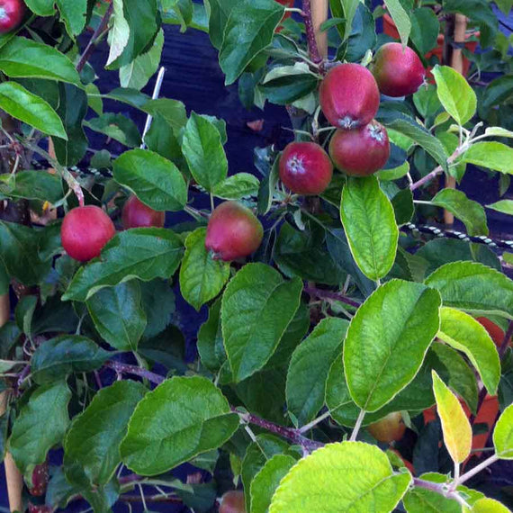 Dwarf Pinova Apple Tree Gift