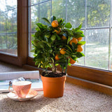 Mini Calamondin Tree Gift