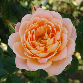Sweet Dream Rose Bush