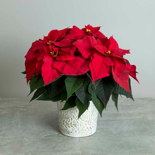 Poinsettia in a Pot