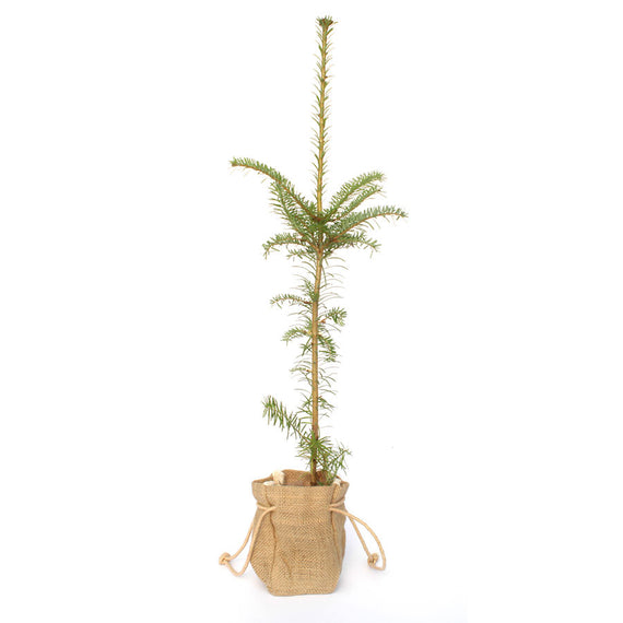 Nordman Fir Tree for Sale