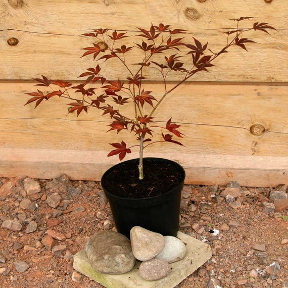 Buy a Fireglow Japanese Maple Tree