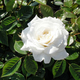 Diamond Anniversary Rose Bush