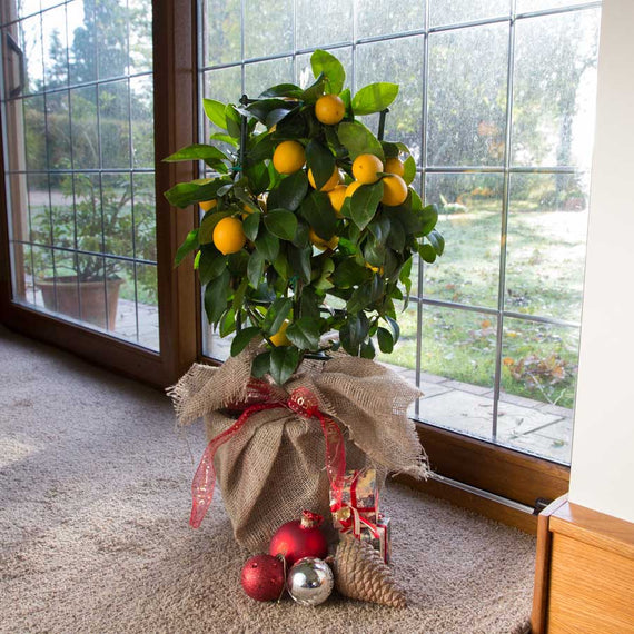 Espalier Christmas Lemon Gift