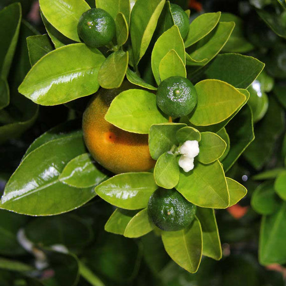 Calamondin Plant Fruit and Flowers