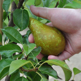 Conference Pears being picked