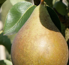 Buy a Williams Pear Tree