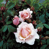 Buy a Valentines Heart Rose Bush
