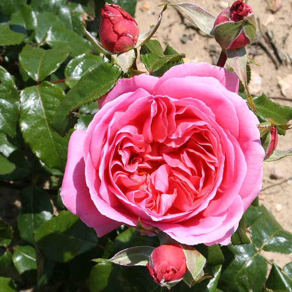 Special Anniversary Rose Flower and Buds