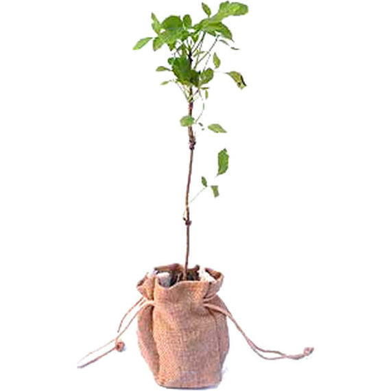Elder Tree Sapling in Hessian Bag