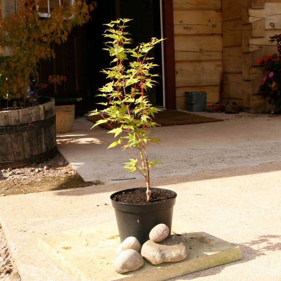 Sunshine Japanese Maple Tree Gift