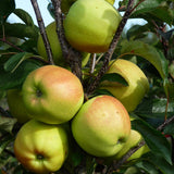Buy a Golden Delicious Apple Tree