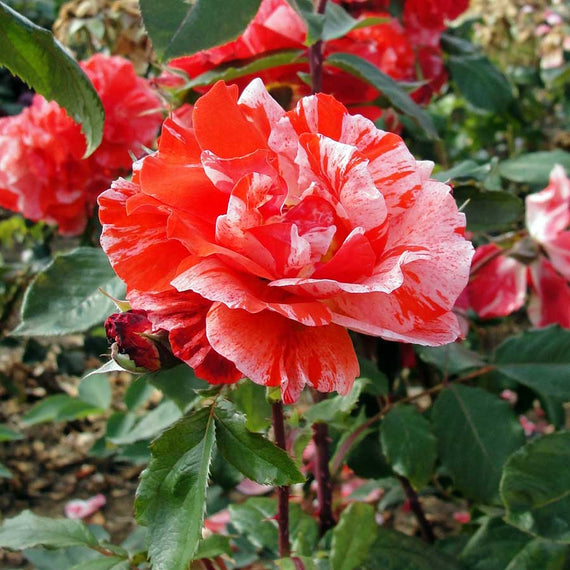 Hanky Pankie Rose Bush