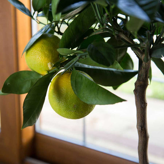 Buy an Orange Tree UK
