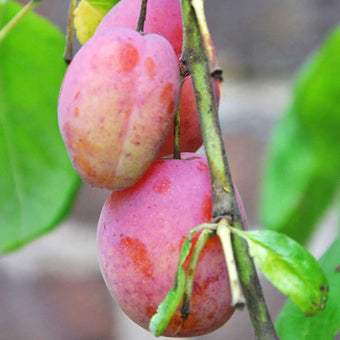 Patio Victoria Plum Tree Gift