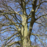 Buy a Common Beech Tree