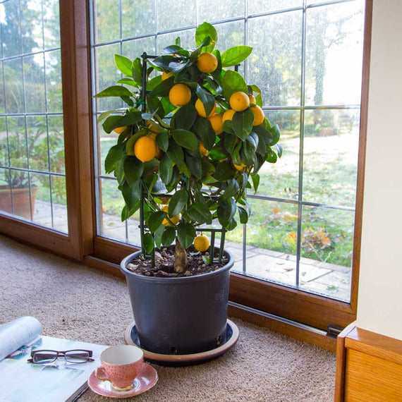 Espalier Lemon Tree Gift