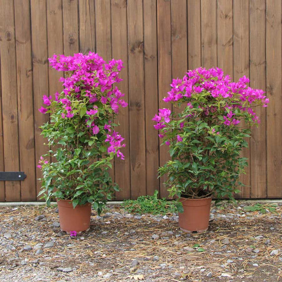 Pair of Bougainvillea Plants